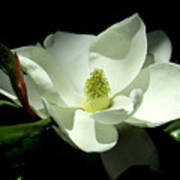 Magnificent White Magnolia - Photography Art Print