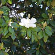Magnolia Blooming 3 Art Print