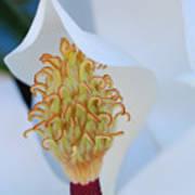 Magnolia Blossom 1 Art Print