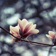 Magnolia Blossom 2 Art Print