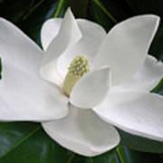 Magnolia Expressive Art Print