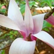 Magnolia Flowering Tree Art Prints White Pink Magnolia Flower Baslee Troutman Art Print