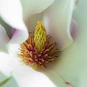 Magnolia Flowers Art Print