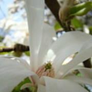 Magnolia Flowers White Magnolia Tree Flower Art Spring Baslee Troutman Art Print