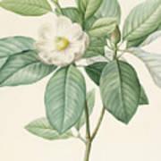 Magnolia Glauca Art Print