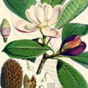 Magnolia Hodgsonii Art Print