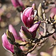 Magnolia In Bloom Art Print