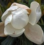 Magnolia No 1 Art Print