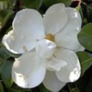 Magnolia No 7 Art Print