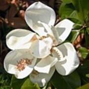 Magnolia No 8 Art Print