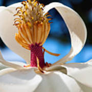 Magnolia Passing Art Print