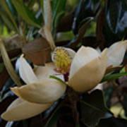 Magnolia Seeds Art Print