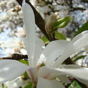 Magnolia Tree Flowers Art Prints White Magnolia Flower Art Print