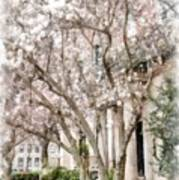Magnolias In Back Bay Art Print