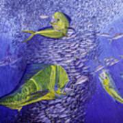 Mahi Mahi Original Oil Painting 24x30in Art Print by Manuel Lopez