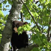 Maine Black Bear Cub In Tree Art Print