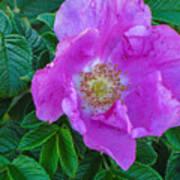 Maine Rose Art Print