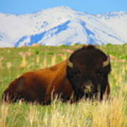 Majestic Buffalo  Art Print