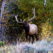 Majestic Bull Elk Survivor In Colorado  Art Print