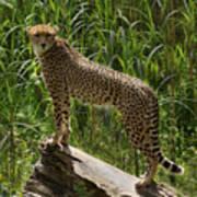 Majestic Cheetah Art Print