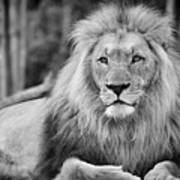 Majestic Male Lion Black And White Photo Art Print
