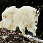 Majestic Mountain Goat Art Print