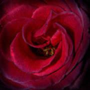 Majestic Rose Art Print