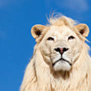 Majestic White Lion Art Print