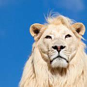 Majestic White Lion Art Print by Sarah Cheriton-Jones