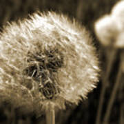 Make-a-wish Dandelion Sepia Art Print
