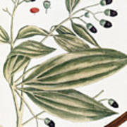 Malabar Cinnamon, 1735 Art Print