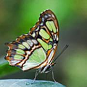 Malachite Butterfly Art Print