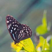 Malaysian Butterfly Art Print