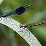 Male And Female Damsel Fly Art Print