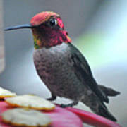 Male Anna's Hummingbird On Feeder Perch Art Print