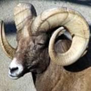 Male Bighorn Sheep Ram Art Print