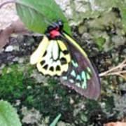 Male Birdwing Butterfly Art Print