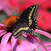Male Black Swallowtail Butterfly On Echinacea Plant Art Print