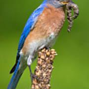 Male Bluebird With Larvae Art Print