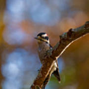 Male Downy Woodpecker Art Print