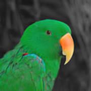 Male Eclectus Art Print