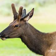 Male Elk Art Print