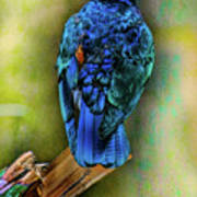 Male Fairy Bluebird Art Print