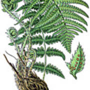 male fern, Dryopteris filix-mas Art Print
