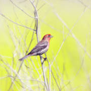Male Finch On Bare Branch Art Print
