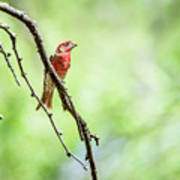 Male House Finch Out On A Limb Art Print