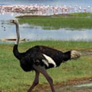 Male Ostrich Art Print
