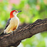 Male Red-bellied Woodpecker Art Print