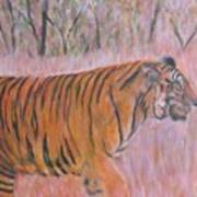 Adult Male Tiger Of India Striding At Sunset  Art Print