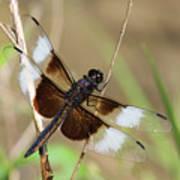 Male Widow Skimmer Dragonfly #3 Art Print